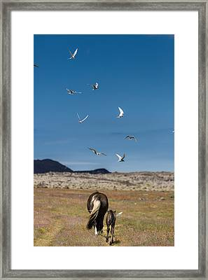 Arctic Terns With Mare And Foal Framed Print by Panoramic Images