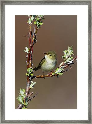 Arctic Warbler Framed Print