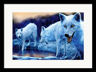 Canis Lupus Framed Prints