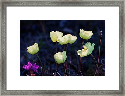 Arctic Wildflowers, Mountain Avens Framed Print
