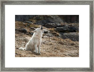 Framed Print featuring the photograph Arctic Wolf Howling by Wolves Only
