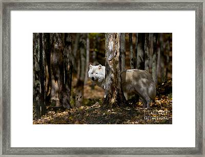 Framed Print featuring the photograph Arctic Wolf In Forest by Wolves Only