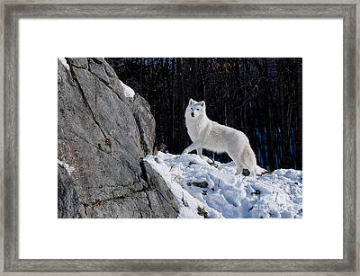 Framed Print featuring the photograph Arctic Wolf On Rock Cliff by Wolves Only