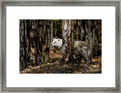 Arctic Wolf Picture 242 Framed Print
