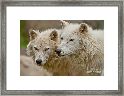 Arctic Wolf Pictures 1174 Framed Print
