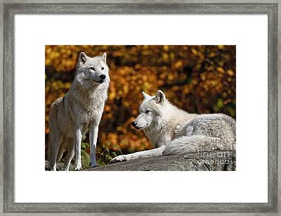Arctic Wolf Pictures 34 Framed Print