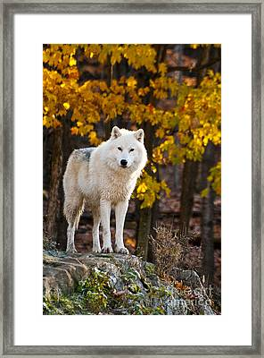 Arctic Wolf Pictures 709 Framed Print