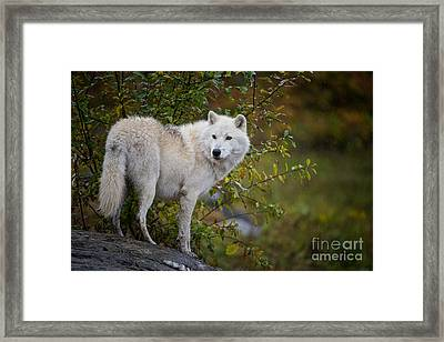 Arctic Wolf Pictures 922 Framed Print