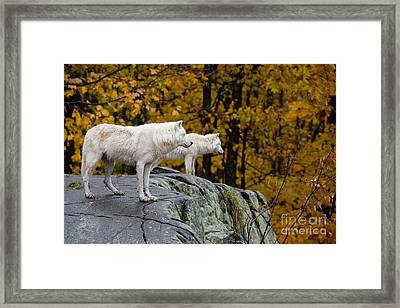 Arctic Wolf Pictures 930 Framed Print