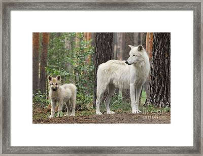 Arctic Wolf With Pup, Canis Lupus Albus Framed Print by Stefan Meyers