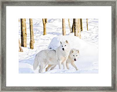 Arctic Wolves Framed Print by Cheryl Baxter