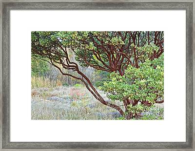 Framed Print featuring the photograph Arctostaphylos Hybrid by Kate Brown