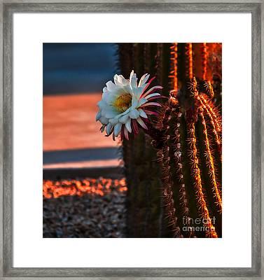 Argentine Cactus Framed Print by Robert Bales