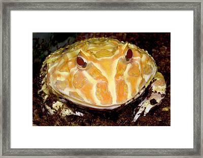 Argentine Wide-mouth Frog Or Pacman Frog Framed Print by Nigel Downer