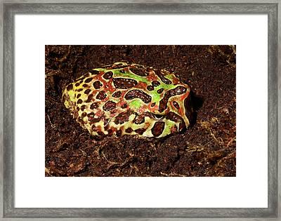 Argentine Wide-mouthed Frog Framed Print by Nigel Downer