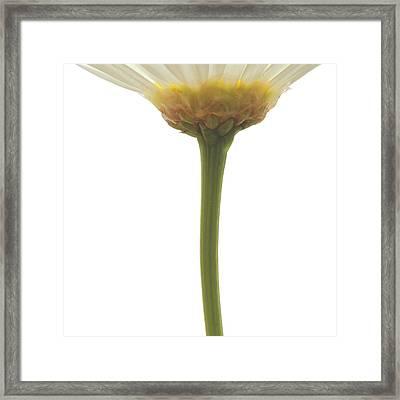 Argyranthemum Frutescens White Marguerite 10x10 Framed Print by Philip  Butler