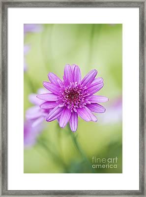 Argyranthemum Madeira Crested Pink Daisy Framed Print by Tim Gainey