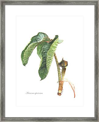 Arisaema Speciosum Framed Print