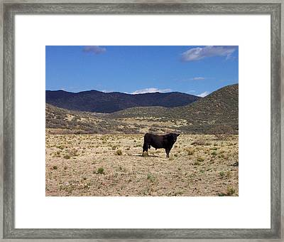 Arizona Angus - Out Standing In His Field Framed Print