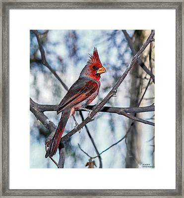 Arizona Cardinal Framed Print
