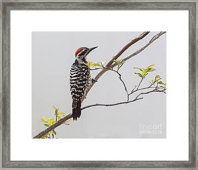 Arizona Ladderback Woodpecker Framed Print by Janice Rae Pariza