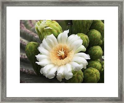 Arizona State Flower The Saguaro Blossom Framed Print