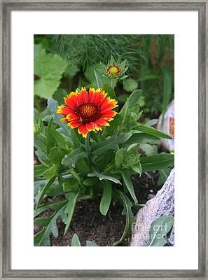 Arizona Sun Flower Framed Print