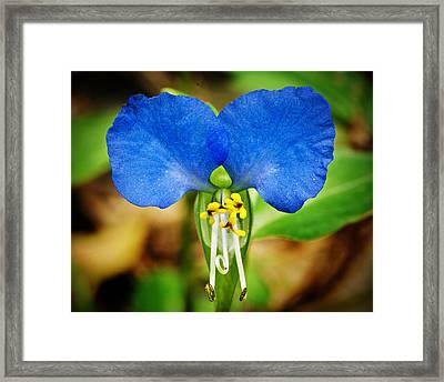 Arkansas Asiatic Dayflower Framed Print by Randy Forrester