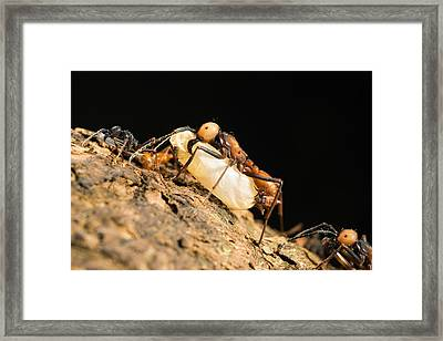 Army Ant Carrying Insect Pupa La Selva Framed Print