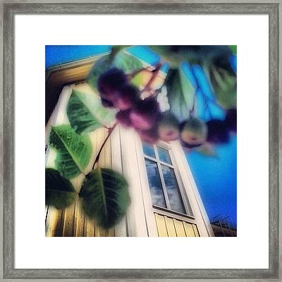 #aronia #buske #trädgård #hus #hem Framed Print