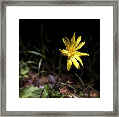 Arrow Leaf Balsamroot Framed Print by Fran Riley