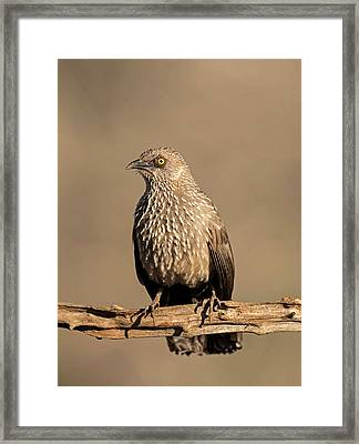 Arrow-marked Babbler Framed Print by Tony Camacho