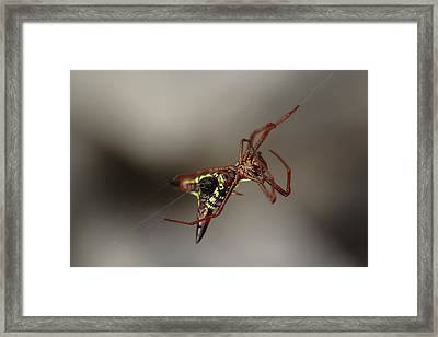 Arrow-shaped Micrathena Spider Starting A Web Framed Print by Daniel Reed