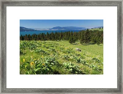 Arrowleaf Balsamroot Blooming On Wild Framed Print by Chuck Haney