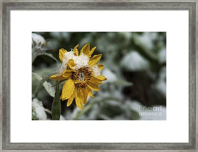 Arrowleaf Balsamroot In Snow Framed Print by Wildlife Fine Art