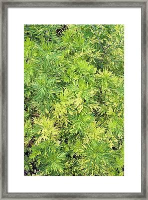 Artemisia Vulgaris 'oriental Limelight' Framed Print by Geoff Kidd
