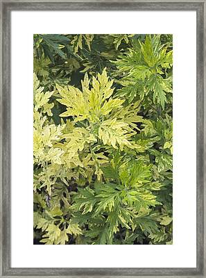 Artemisia Vulgaris 'oriental Limelight' Framed Print by Science Photo Library