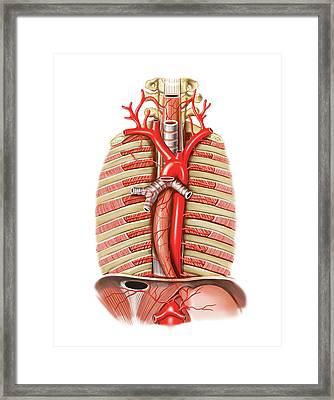 Arterial System Of Oesophagus Framed Print by Asklepios Medical Atlas