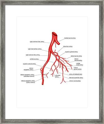 Arterial System Of The Abdomen Framed Print by Asklepios Medical Atlas