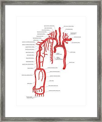 Arterial System Of The Upper Body Framed Print by Asklepios Medical Atlas