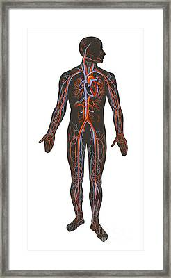 Arteries And Veins Of The Human Body Framed Print by TriFocal Communications