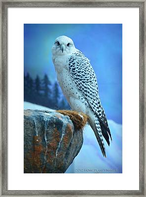 Artic Falcon Framed Print by Janis Knight
