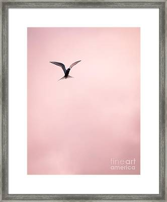 Framed Print featuring the photograph Artic Tern High In The Sky by Peta Thames