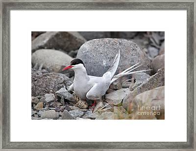 Artic Tern On Nest Framed Print by Greg Dimijian