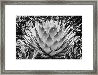 Artichoke Agave B W Framed Print by Kelley King
