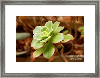 Artichoke Bloom Framed Print by Andrea Aycock