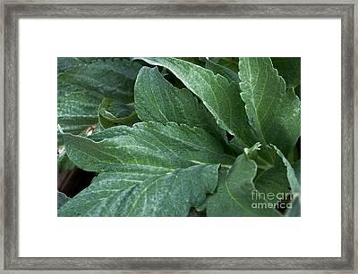 Artichoke Flora Framed Print by Gwyn Newcombe