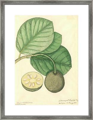 Artocarpus Chaplasha Framed Print by Natural History Museum, London