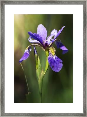 Artsy Iris Framed Print by Shelly Gunderson