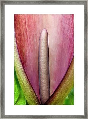 Arum Apulum Inflorescence Framed Print by Dr Jeremy Burgess